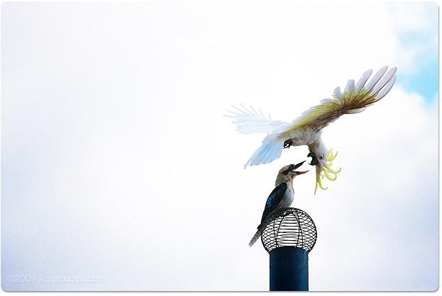20091201-kookaburra-coky
